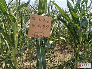 真猖狂!澳门金沙网址站这家地里的玉米还没成熟就被盗了!