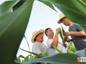 现代农业:种子站的科技专家在田间考察玉米!