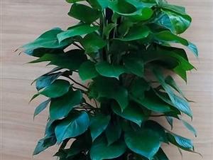棒�G�}-室��[放植物,吸收有毒有害�怏w,�有�O��的空��艋�功能