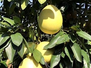 卖柚子啦   卖柚子啦