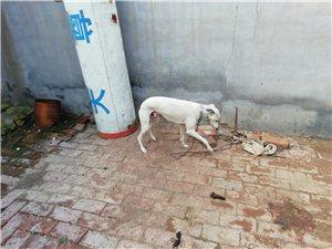 今上午有看到一条白色细狗的吗,带着链子