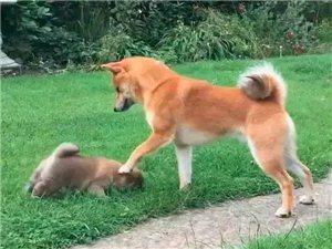 柴犬父子相见,场面一度有些尴尬