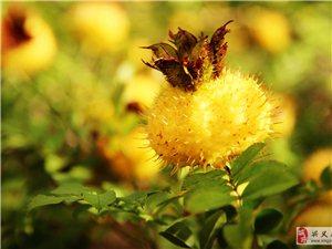 刺梨的功能――防癌、抗癌