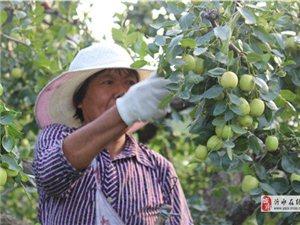 道托镇南岭上苹果枣开始采摘了啊!