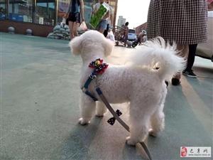 寻狗:比熊小狗在巴彦县兆麟校附近走失 ,找到狗送回必有重谢!