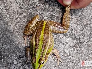 驻马店2村民闲来无事抓青蛙,被判刑拘役二个月!