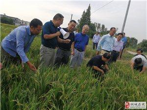 桐城老干部考察再生稻生产基地 助力当地农业高质量发展