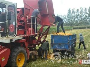 秋收时节:杨庄乡机收玉米助秋收