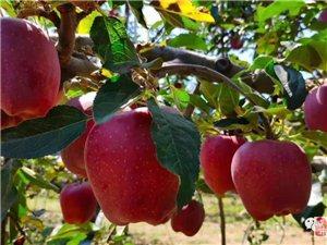 清水县丰望乡的花牛苹果丰收啦