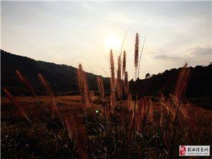 夕阳下的一大片狗尾巴草太美了!揭西的秋天真的来了