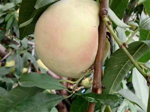 想吃大桃子了�。�!