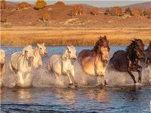 骏马奔腾在美丽的家乡贡格尔草原上