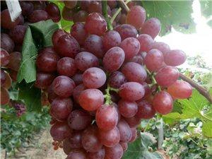 阜城漫河不单是西瓜闻名全国,葡萄冬桃也令人垂涎!