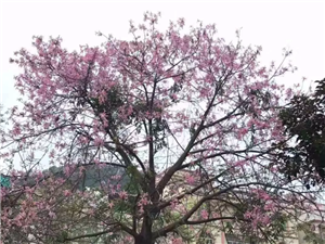 超美!异木棉在高州街头惊艳盛放,一起来邂逅粉色花海吧!
