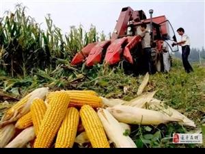 澳门金沙网址站老乡家的玉米别卖早,价格可能要涨