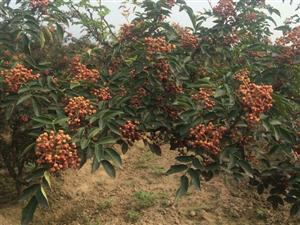 康氏苗圃:�L期提供花椒苗木培育