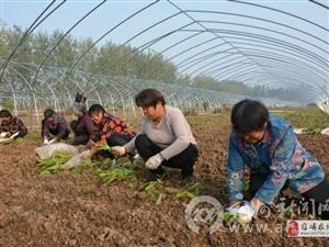 扶贫基地大棚菜林间套种促增收