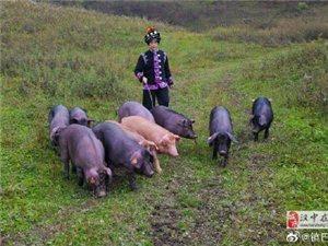 镇巴腊肉是陕南秦巴山区一带的特产