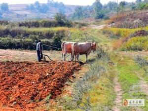 """""""据说见过的人都老了""""!驻马店偏远山区现牛犁地农耕文化场景……"""