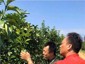 县发改委副主任、科工信局局长黄国宇到七坊、荣邦了解红心橙产业情况