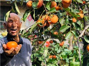 老爷的柿子树红了