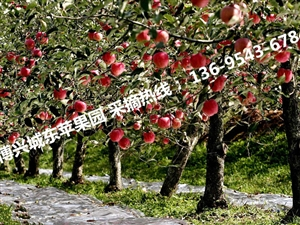 博兴苹果采摘开始啦 博兴哪里有田园采摘的