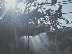 猕猴桃果园转让,1100多株,交通水电便利