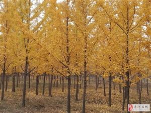 黄河岸边银杏黄