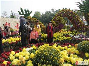 清纯淡雅的菊花盛开在龙泉古镇