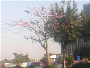 一种非常适合美化鹤山市的树