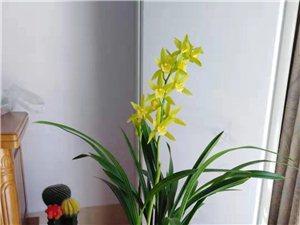 出售精品艺兰、春兰、惠兰等各品种花艺、叶艺