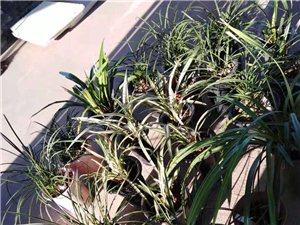 出售精品艺兰:春兰、惠兰、墨兰等各品种花艺、叶艺