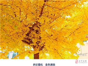 青海的�y杏大道,�@�l路�F在美爆了!