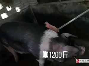 """化州南盛惊现""""猪王""""1200斤,众人闻讯亲往""""探访""""!"""