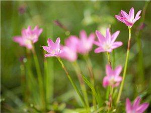 风雨兰、野花花