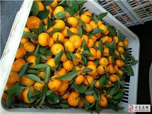 自己家种的南丰橘,有几千斤在老家罗珊乡