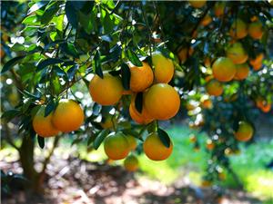 白沙良食,浑然天橙―白沙红心橙产业走出的电商之路