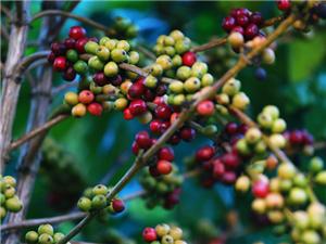 白沙咖啡产业:借力电商平台走向广阔前景