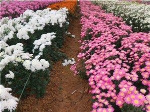 免费享受菊花园环境