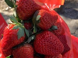 句容奶油草莓,果小�|0元草莓福利�砝玻�