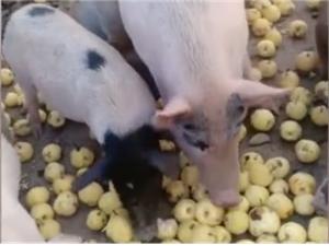 宿州一农民用水果养猪全年不断供网友:活得不如一头猪!