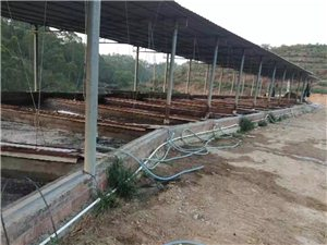 化州官桥旺竹山管区数百平方鸡屎粪长满虫,环境污染十分严重!