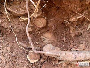 化州发现疑似宋代古窑址?现场发现大量...