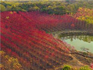"""保安湖国家湿地公园邀你赏游冬日""""枫""""彩"""