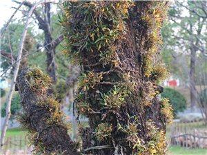 霍山县的仙草――铁皮石斛