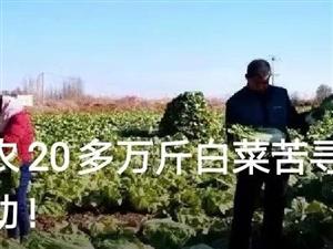 【�U散】滑�h十�f斤白菜免�M送,TA用公益�嘏�一座城!