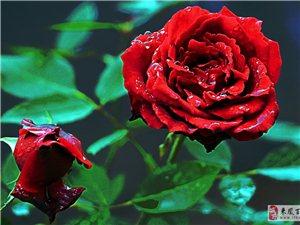 玫瑰花开小康年