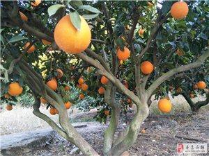 本人有10多万斤脐橙出售,果型均匀,皮妆好,采摘方便