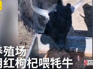 青海大叔用枸杞喂牦牛:一般人喂不起