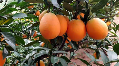 求购树上脐橙鲜果,带轻微沙点可以,价格实惠点就好,果子要甜